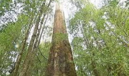 Native Timber Economics