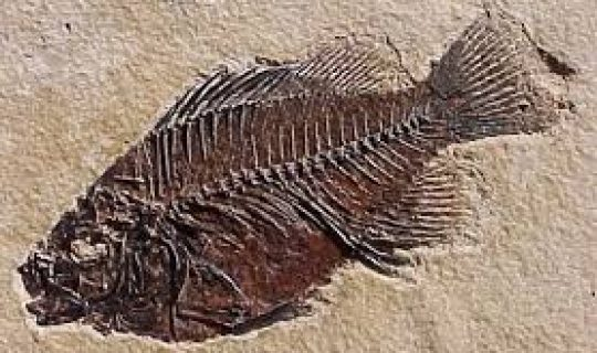 Fossil Fishes with Abs