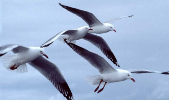 Gulls Review Hour