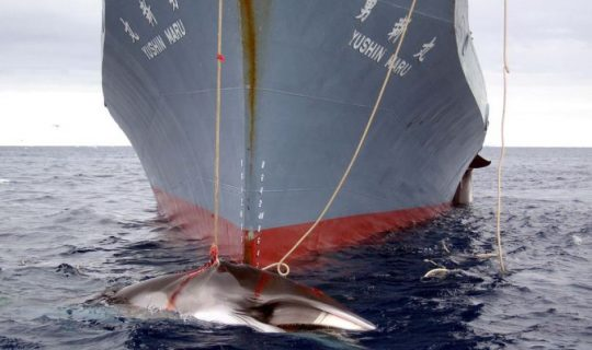 International Court of Justice Whaling Ruling