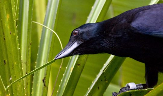 In Layman's #12: New Caledonian Crows and Tool Use