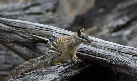Standing Up For Numbats