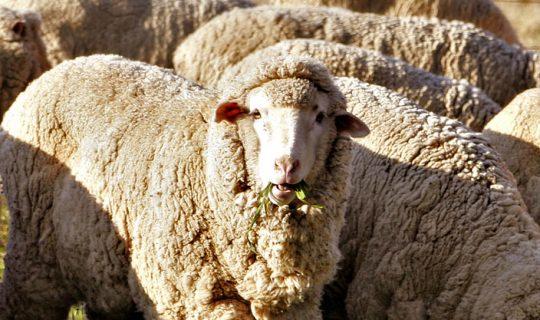 Understorey: Shepherds growing up