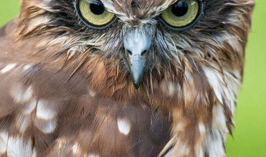 Owl Population Significantly Dropping by Rodent Pesticide