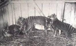 3D Tasmanian Tiger
