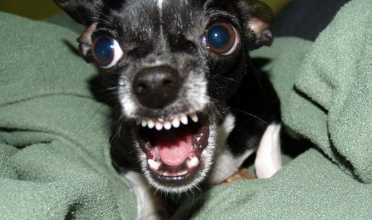 Pets In Practice – Aggressive Dogs