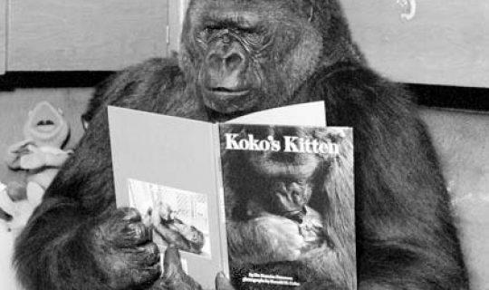 Talk the Talk: Koko