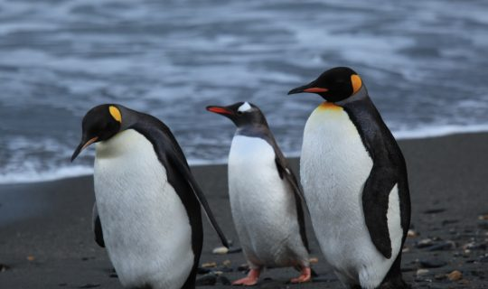 Penguins In Danger from Climate Change