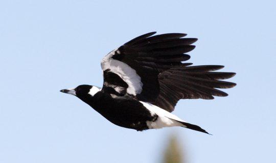 Magpie Season