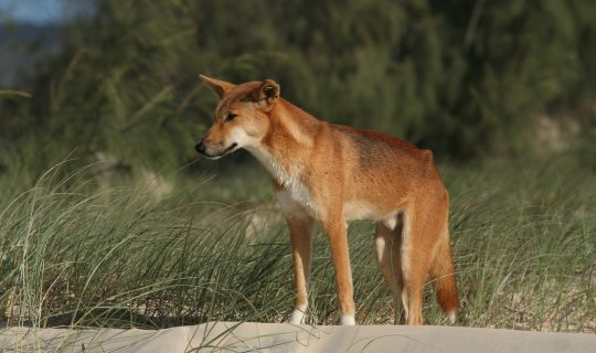 Dingoes as Native Fauna