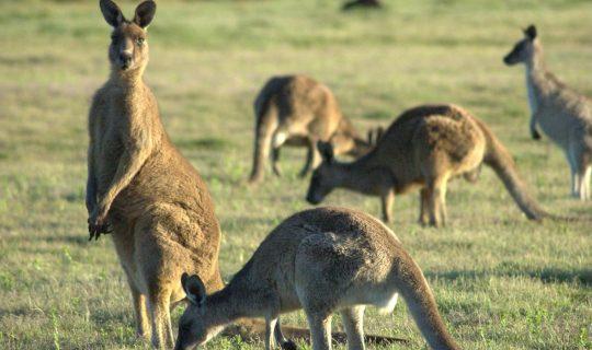 Kangaroos in Australian Fiction
