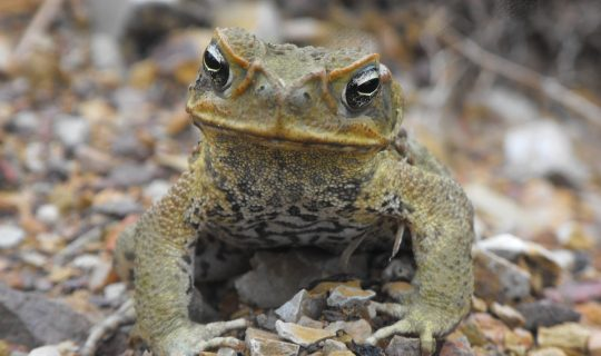 Cane Toads Going West