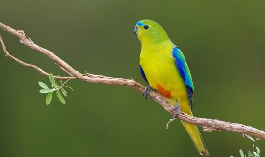 Vaccine Developed for Endangered Aussie Bird Species