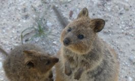 Rottnest: Kingdom of the Quokka
