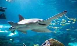 Shocking Sawfish