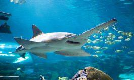 Shocking Sawfish