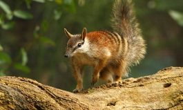 World Numbat Day