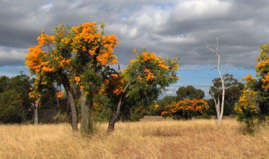 WA's Largest Parasitic Plant