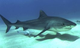 Tiger Shark Swim Patterns
